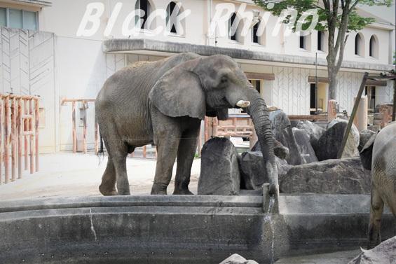 アフリカゾウ タカ03 安佐動物公園