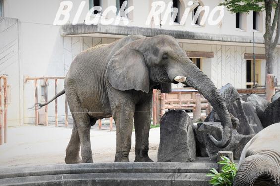 アフリカゾウ タカ04 安佐動物公園