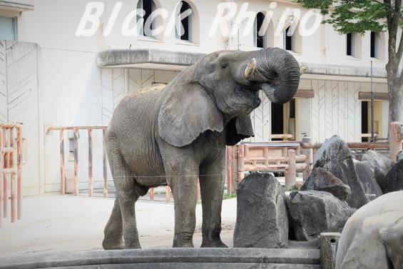 アフリカゾウ タカ05 安佐動物公園