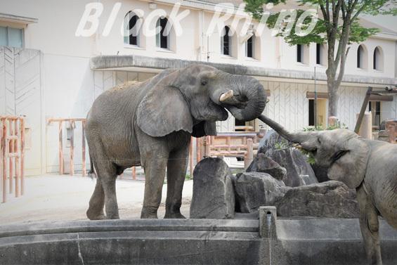 アフリカゾウ タカ06 安佐動物公園