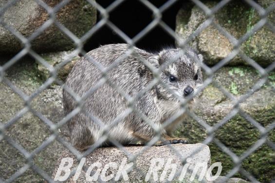ケープハイラックス01 安佐動物公園