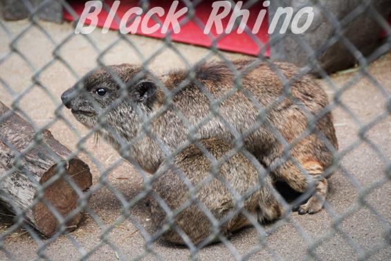 ケープハイラックス02 安佐動物公園