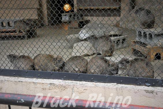 ケープハイラックス03 安佐動物公園