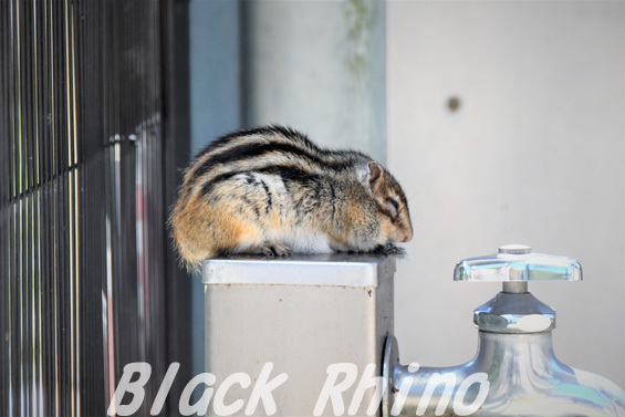 シマリス04 安佐動物公園