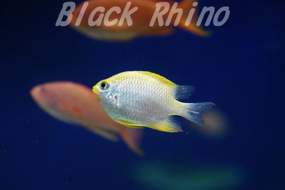 イエローリップダムゼル01 マリホ水族館