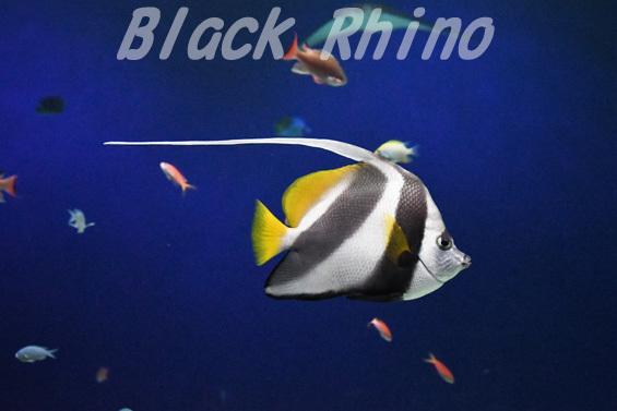 ハタタテダイ02 マリホ水族館