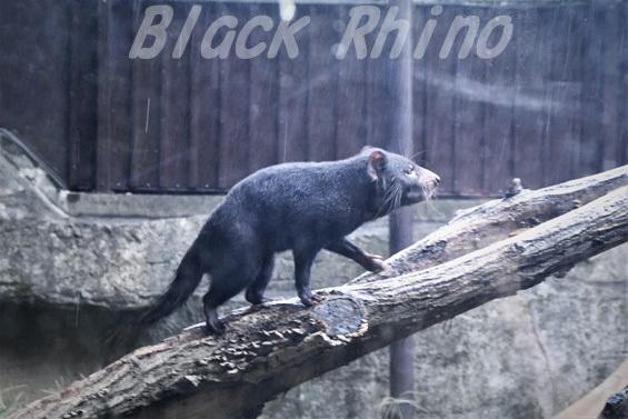 タスマニアデビル03 多摩動物公園