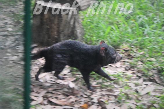 タスマニアデビル05 多摩動物公園