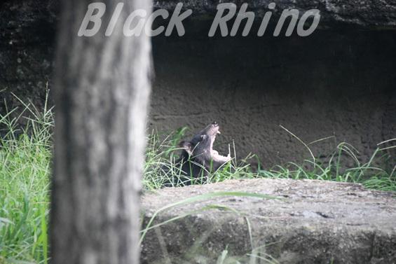 タスマニアデビル08 多摩動物公園