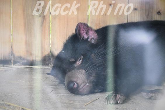 タスマニアデビル11 多摩動物公園