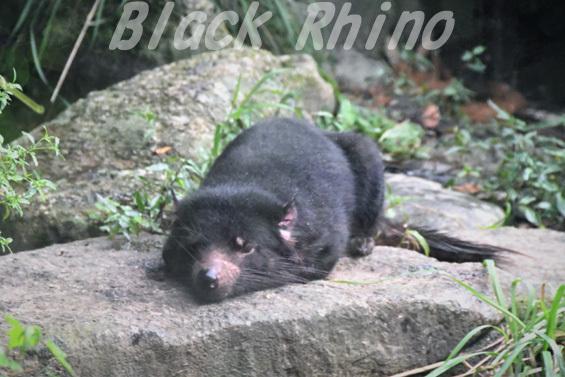 タスマニアデビル12 多摩動物公園