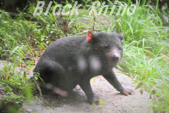 タスマニアデビル13 多摩動物公園