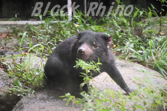 タスマニアデビル14 多摩動物公園