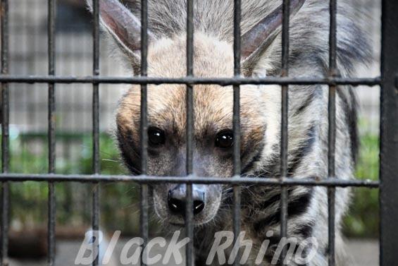 シマハイエナ02 羽村市動物公園