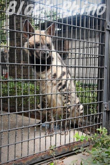シマハイエナ05 羽村市動物公園