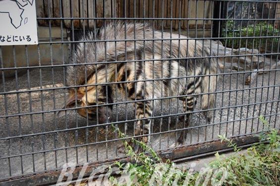 シマハイエナ06 羽村市動物公園