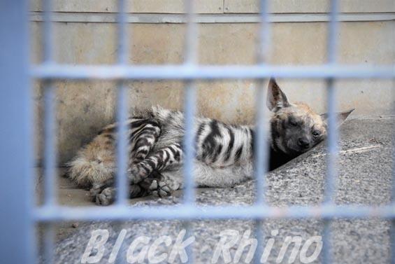 シマハイエナ08 羽村市動物公園