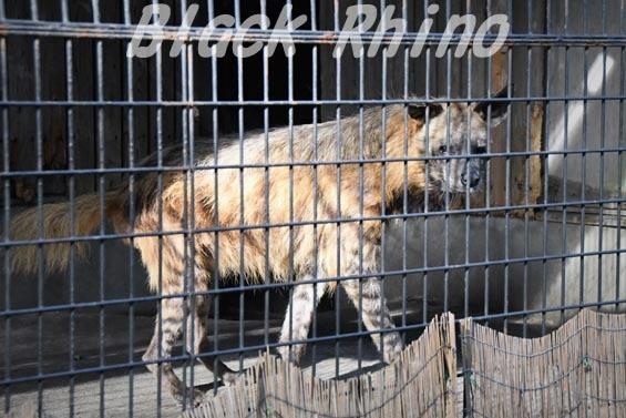 シマハイエナ11 羽村市動物公園