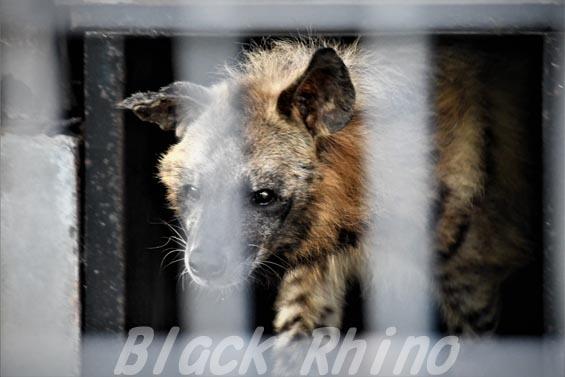 シマハイエナ12 羽村市動物公園