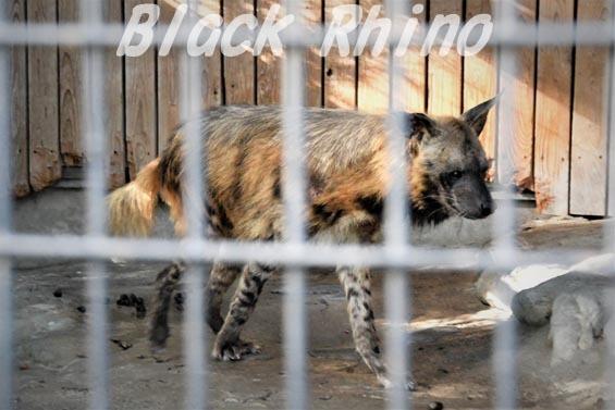 シマハイエナ16 羽村市動物公園