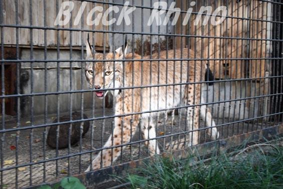 シベリアオオヤマネコ01 羽村市動物公園