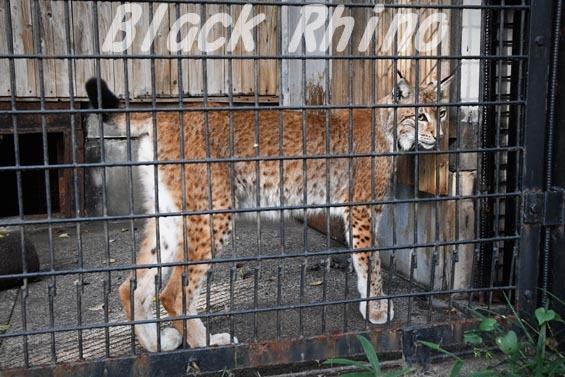 シベリアオオヤマネコ02 羽村市動物公園