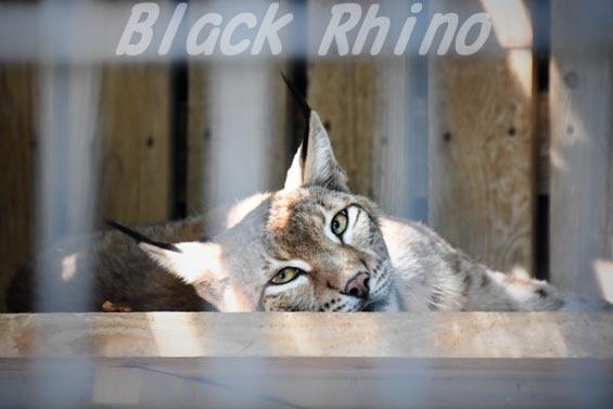 シベリアオオヤマネコ03 羽村市動物公園