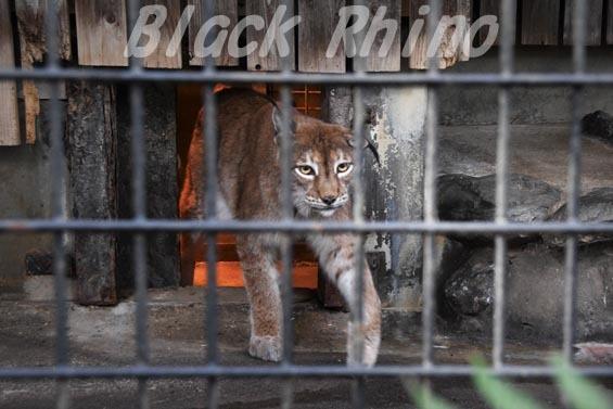 シベリアオオヤマネコ05 羽村市動物公園