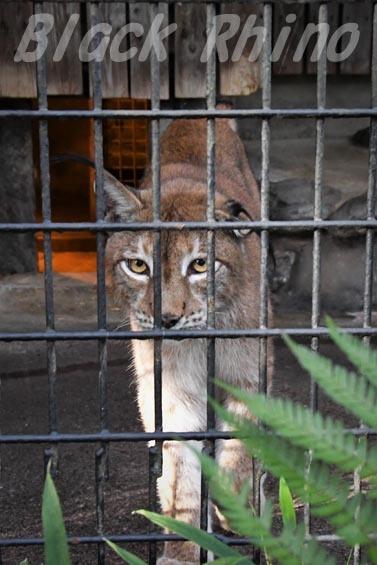 シベリアオオヤマネコ06 羽村市動物公園