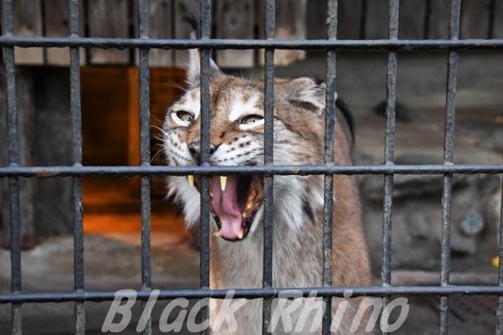 シベリアオオヤマネコ07 羽村市動物公園