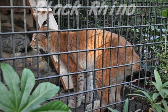 シベリアオオヤマネコ08 羽村市動物公園