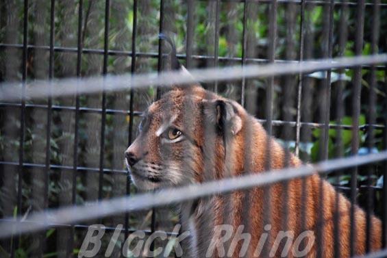 シベリアオオヤマネコ09 羽村市動物公園
