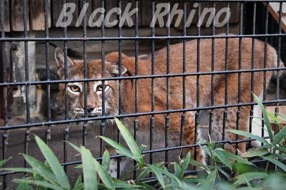 シベリアオオヤマネコ10 羽村市動物公園