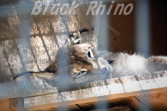 シベリアオオヤマネコ11 羽村市動物公園