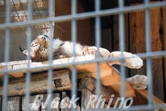 シベリアオオヤマネコ12 羽村市動物公園