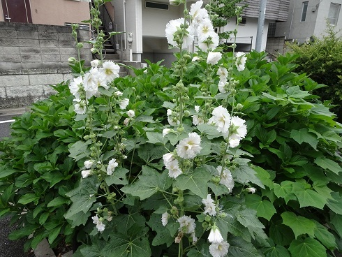 緑道花9葵