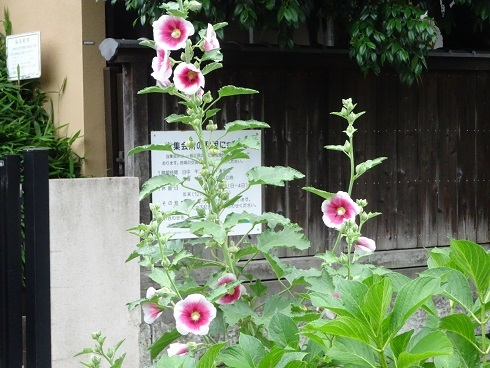 緑道花5葵