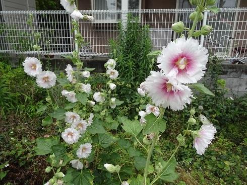 緑道花12葵
