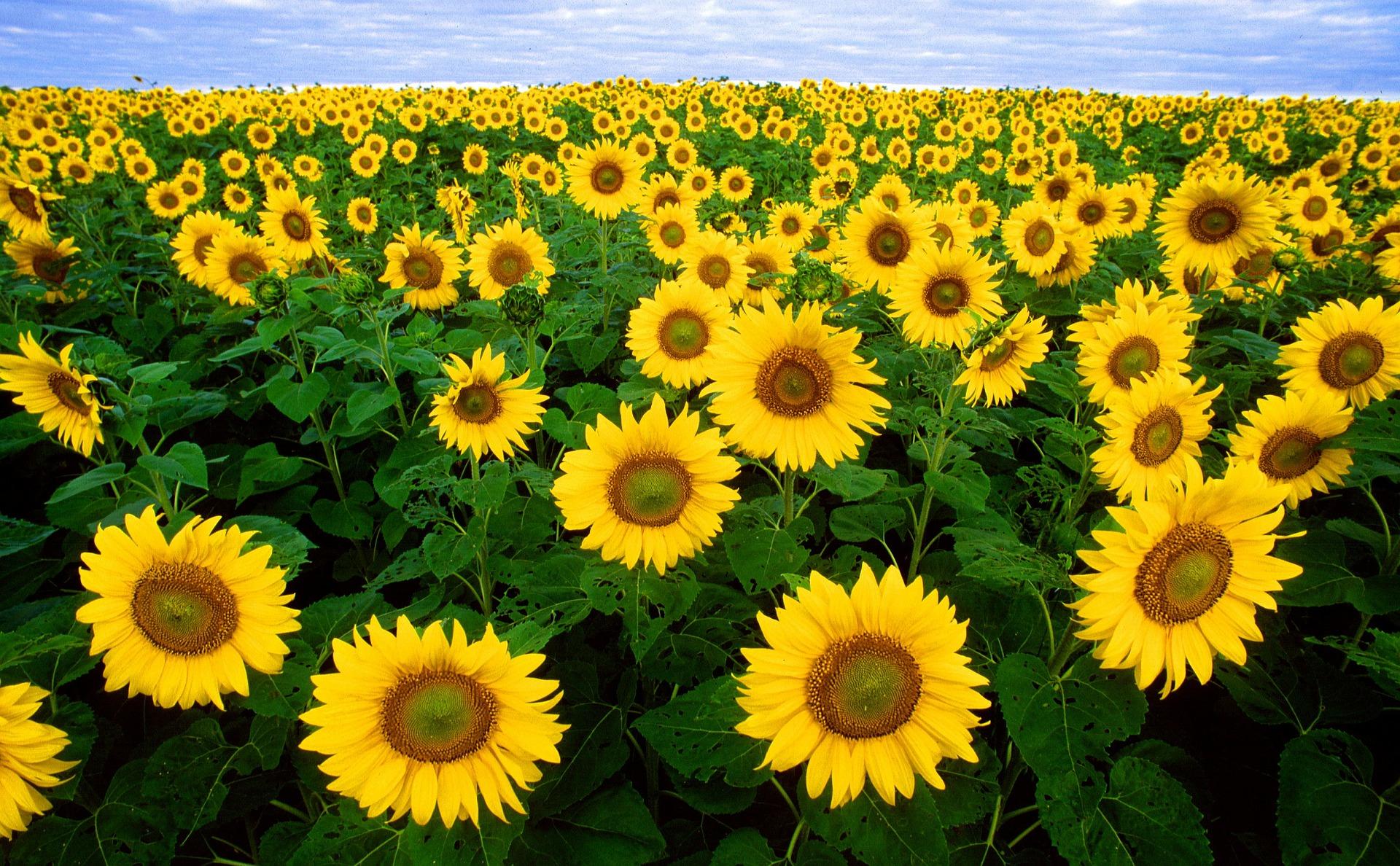 sunflower-11574_1920.jpg