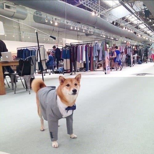 蝶ネクタイスーツがお似合いの柴犬