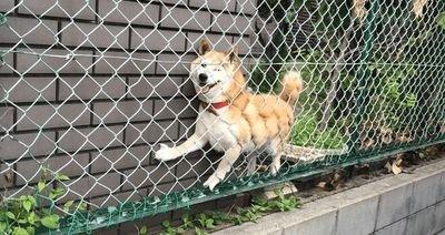 フェンスに挟まったワンコ