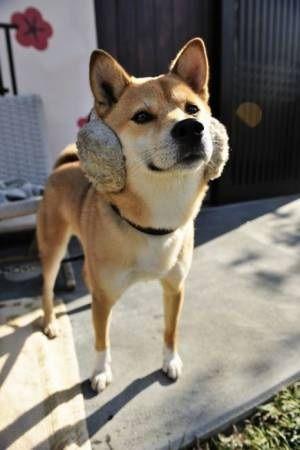 耳当てをしてキマっている犬