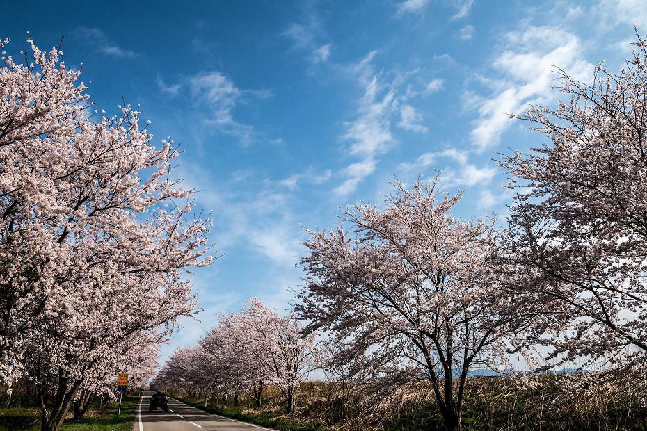 2018.04.05 河北潟 桜並木 3