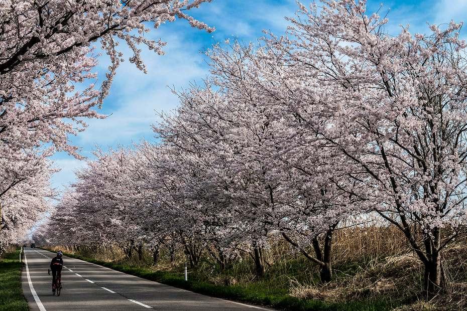 2018.04.05 河北潟 桜並木 2