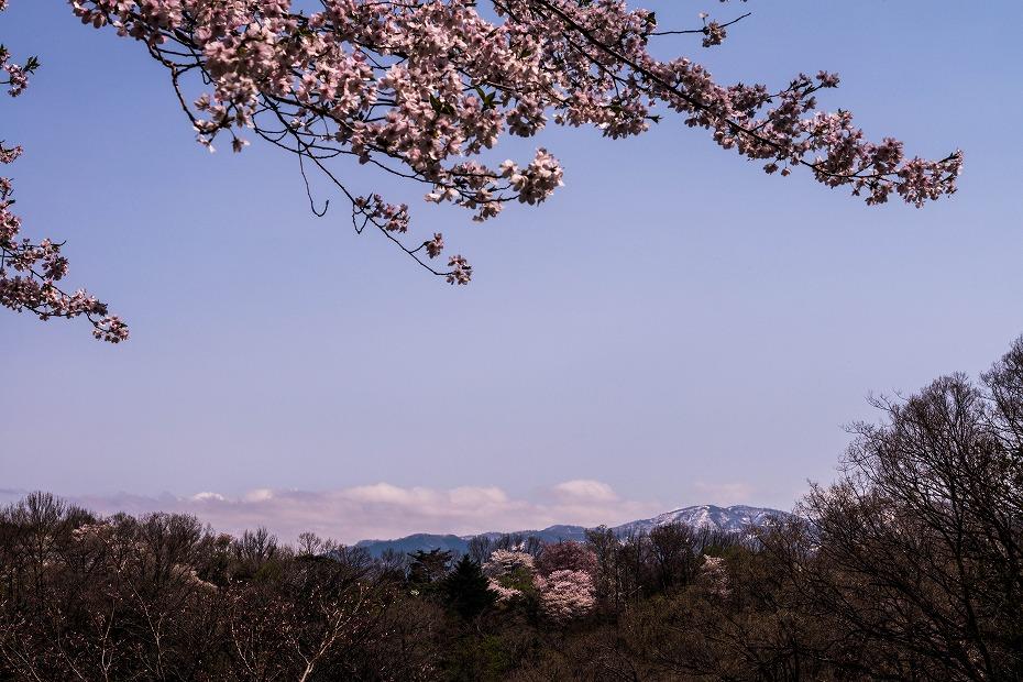 2018.04.05 卯辰山 四百年の森 14