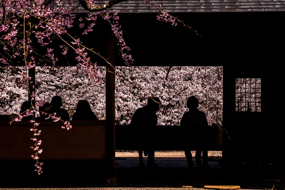 2018.04.05 卯辰山 四百年の森 7