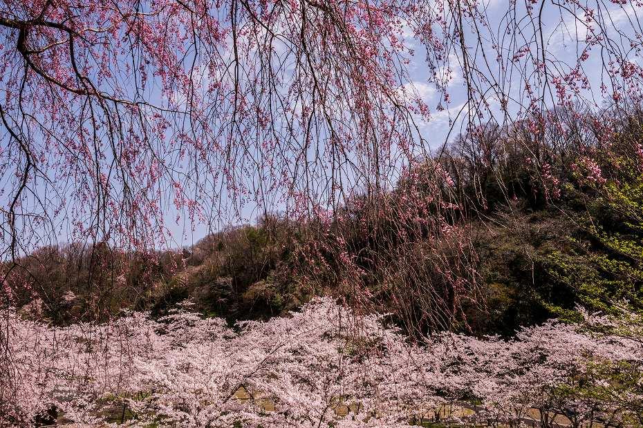 2018.04.05 卯辰山 四百年の森 3