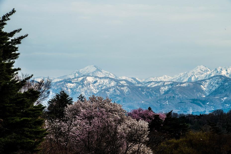 2018.04.05 奥卯辰山健民公園 桜 3