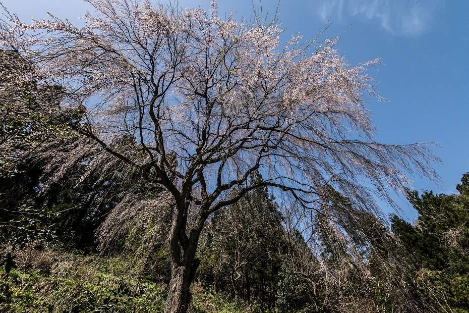2018.04.10 津幡町 桜 7