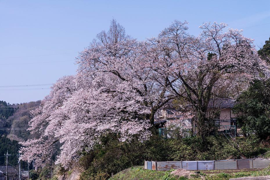 2018.04.10 津幡町 桜 6